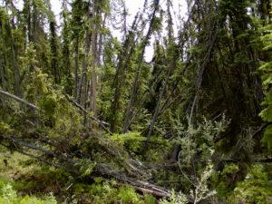 Drunken forest in Alaska.